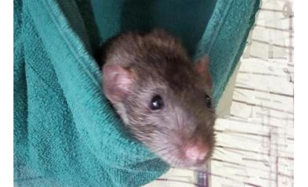 Rats make great pets - Click on picture to meet Ollie!